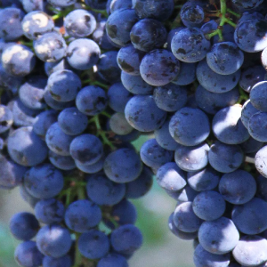 Bordeaux-reds-grapes.png