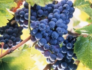 Grape-harvesting-300x228.jpg