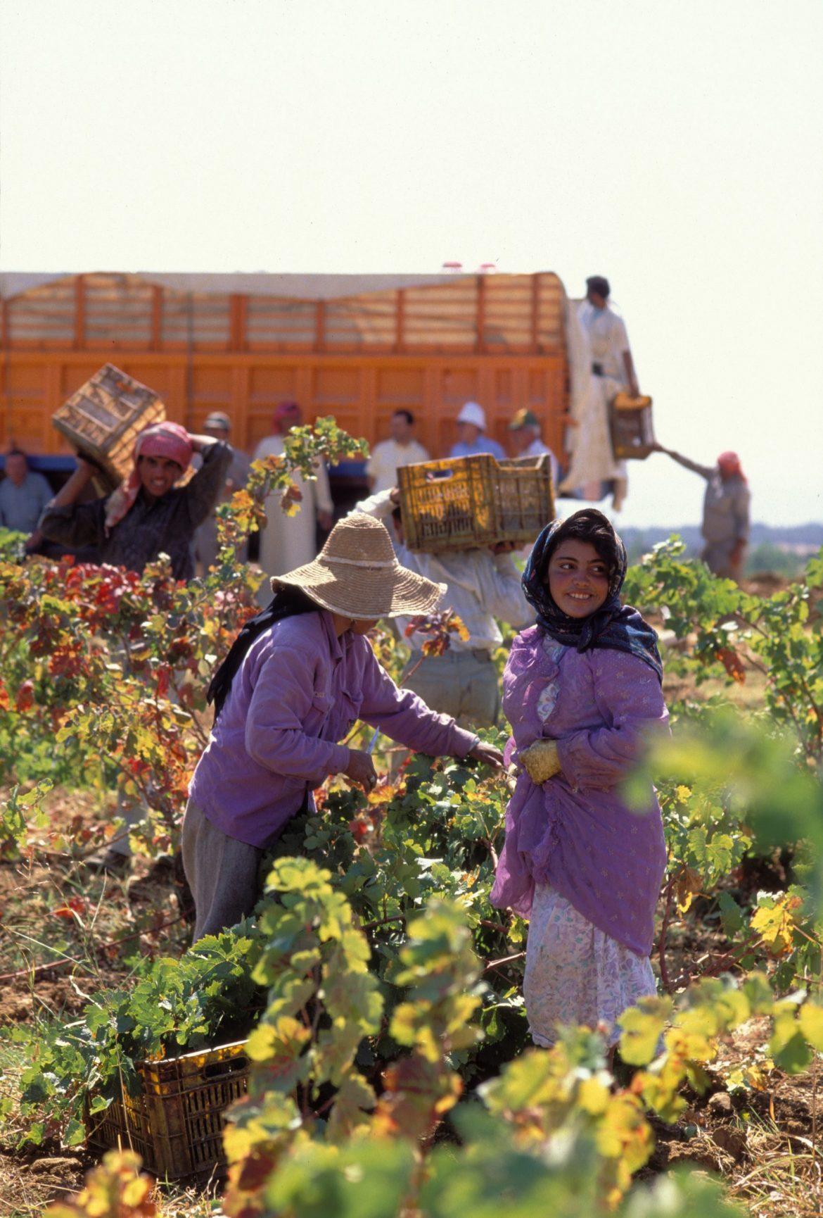 Musar-Harvest-shot-scaled.jpg