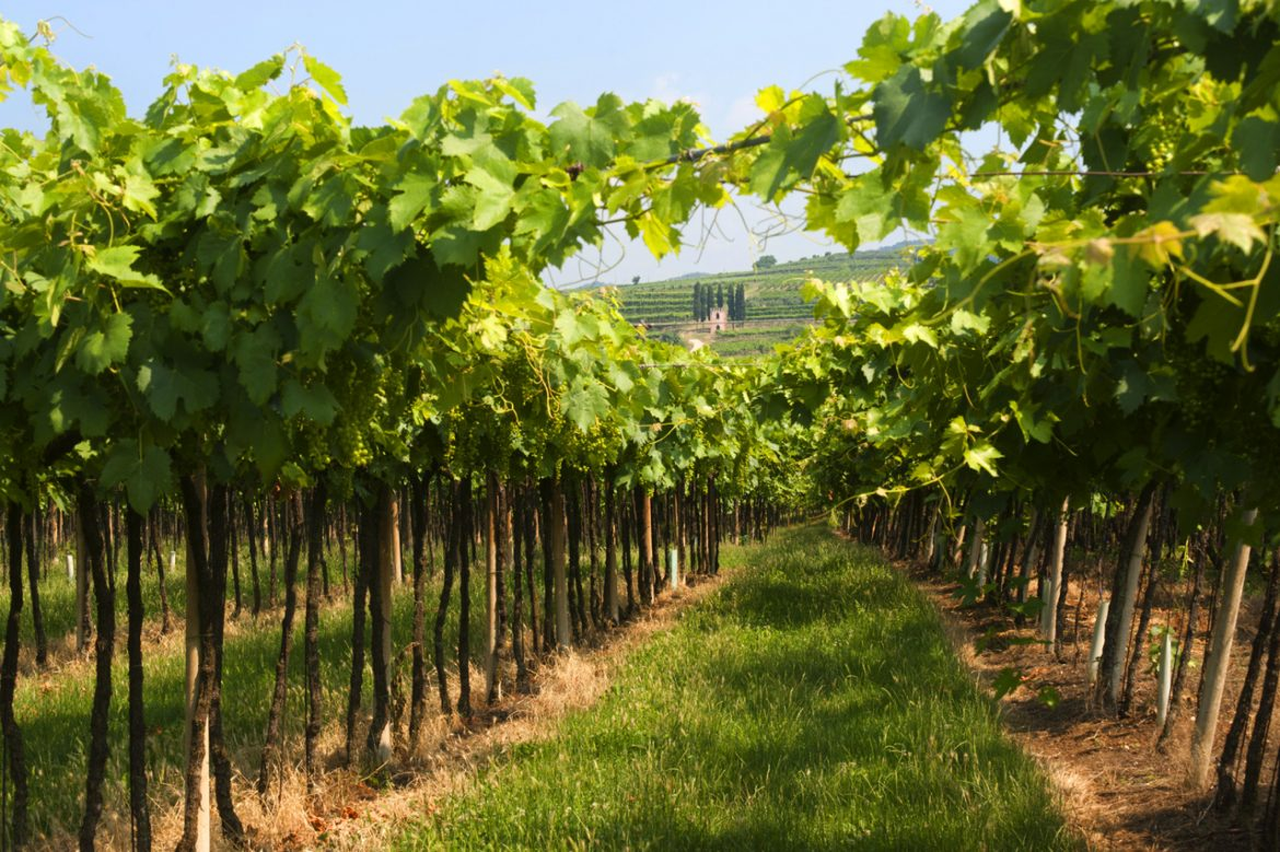veneto-summer-vineyard-in-lessinia.jpg