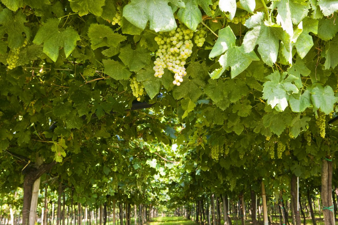 veneto-white-grapes-vineyard.jpg